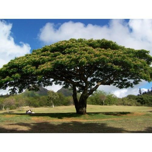 Medium Crop Of Monkey Pod Tree