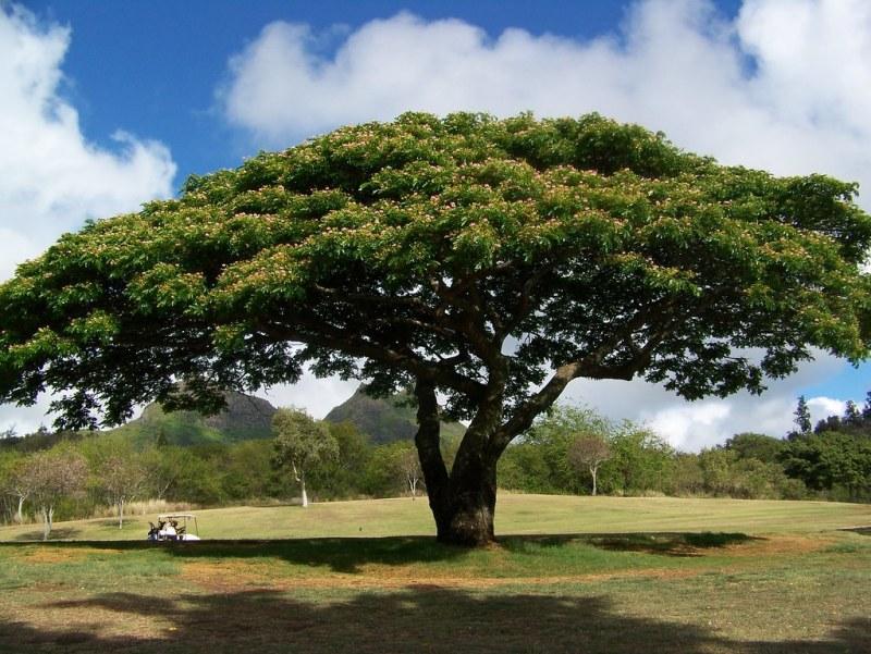Large Of Monkey Pod Tree