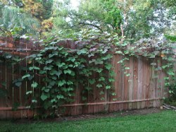 Superb Container Hyacinth Bean Vine Before Flowering By Chocolate Quilt Mom Hyacinth Bean Vine Before Flowering Soon It Will Start Flickr Hyacinth Bean Vine Poisonous Hyacinth Bean Vine