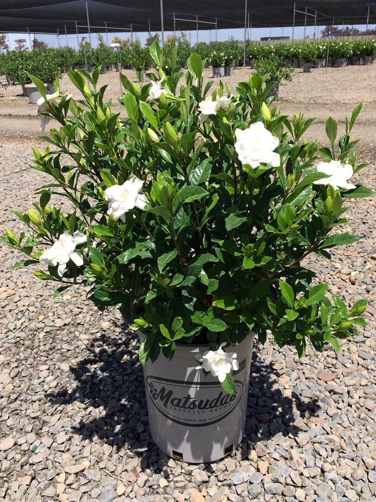 Fullsize Of August Beauty Gardenia