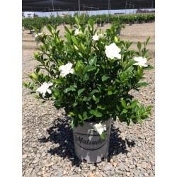 Small Crop Of August Beauty Gardenia