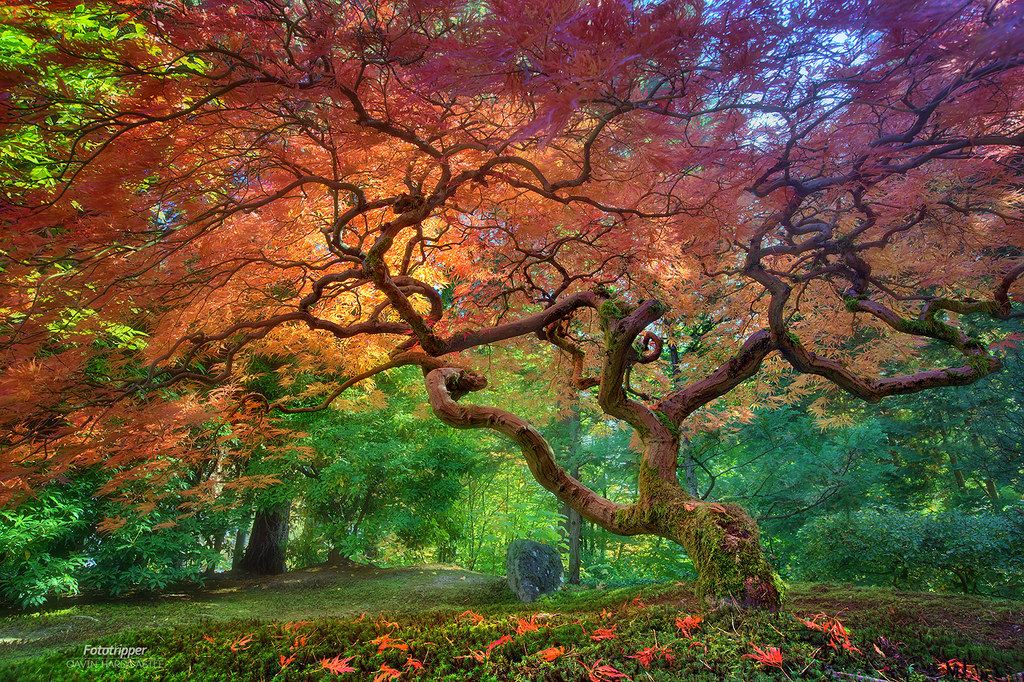 Portland Or Fall Had Wallpaper Arterial Spray Portland Japanese Garden Under This