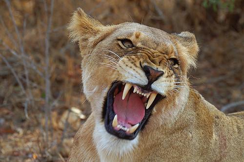 Some 3d Wallpapers Lion Roar Pict0302 Arno Meintjes Flickr