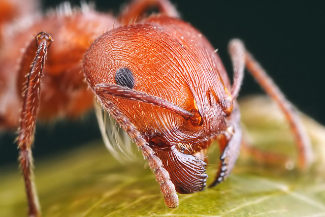 3d Wallpaper 1200x800 Harvester Ant Close Up 5 1 Magnification Full Frame