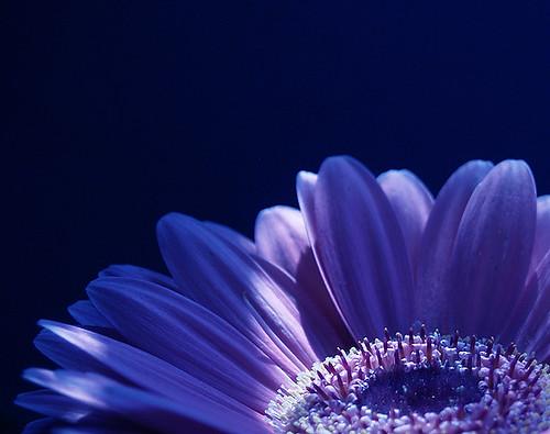 White Flower Wallpaper 3d Part Of Blue Gerbera 1mb Mladyjoy Flickr