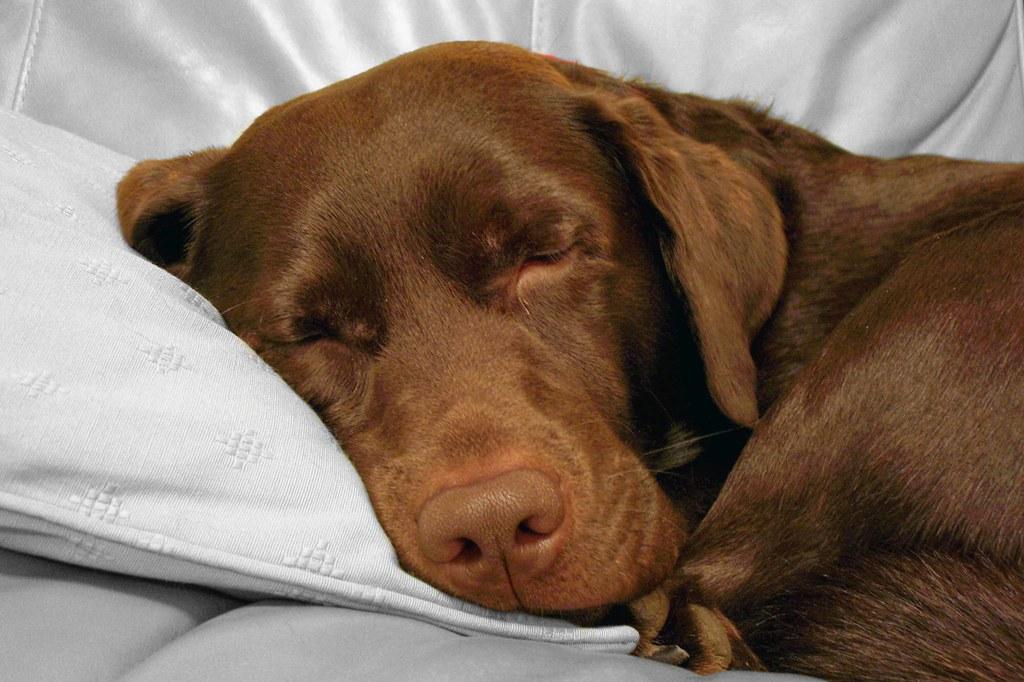 World Map Wallpaper Black And White Chocolate Labrador Sleeping My Chocolate Labrador Burt