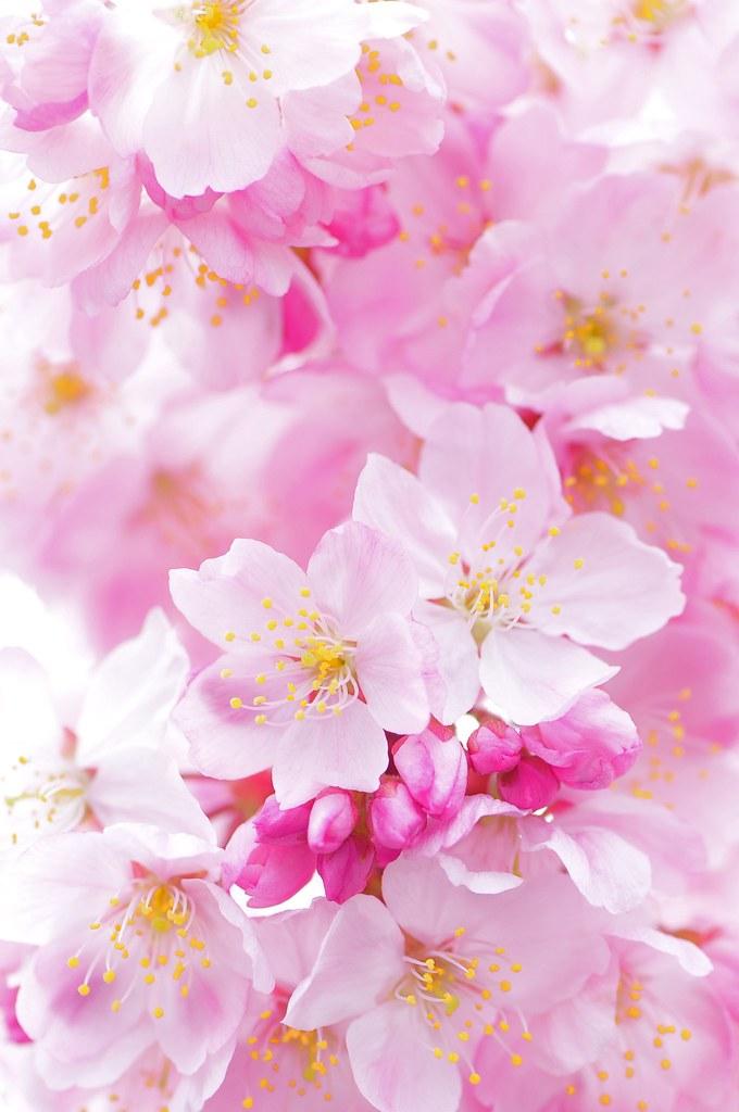Pink Cherry Blossom Wallpaper Hd Sakura Happy Spring さくら Sakura Flickr