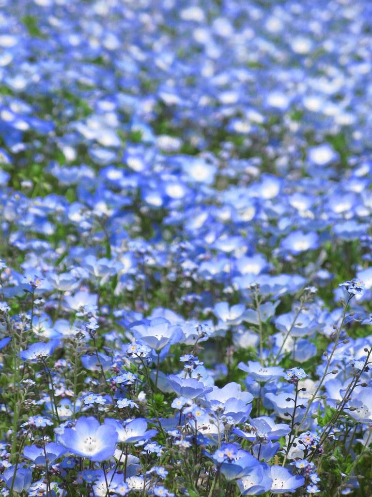 Camera Wallpaper Hd Baby Blue Eyes Nemophila Menziesii ネモフィラ 瑠璃唐草 ルリカラクサ