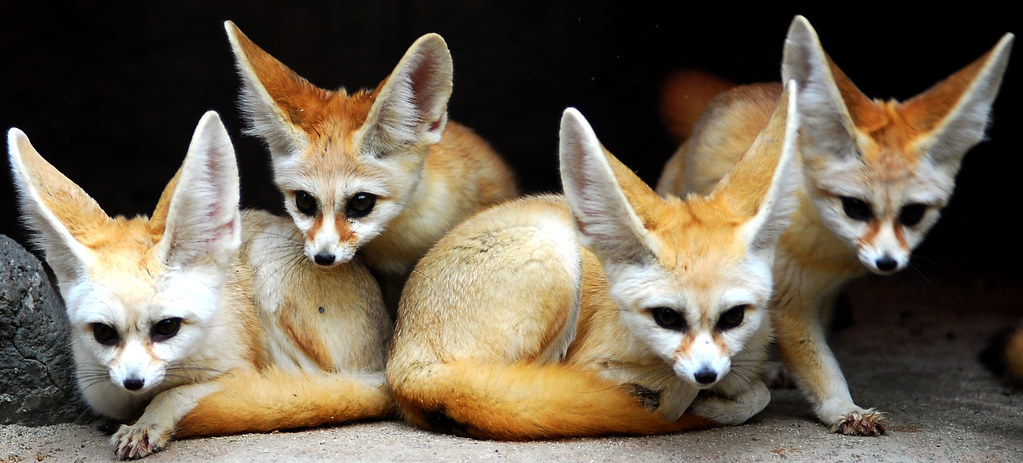 Cute Camera Wallpaper Fennec Foxes Fennec Foxes Everland Korea In Cherl