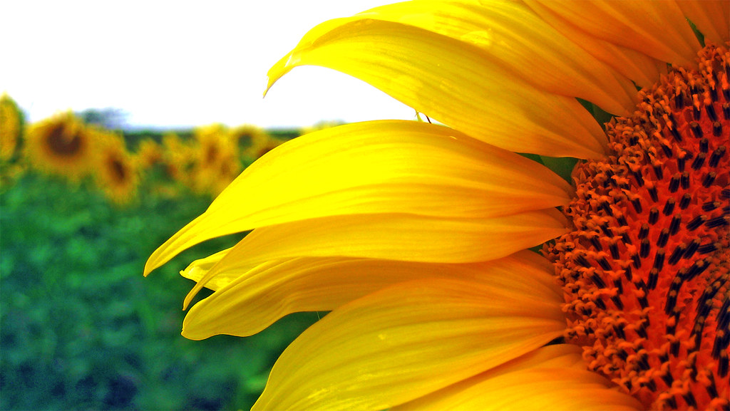 Free 3d Flower Wallpaper Sunflower Landscape Ryan Housknecht Flickr