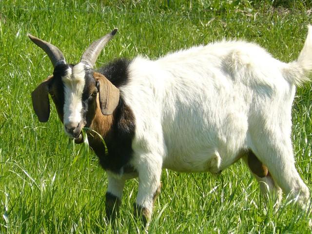 Green 3d Wallpaper Hd Goat Eating Grass Kurt Morrow Flickr
