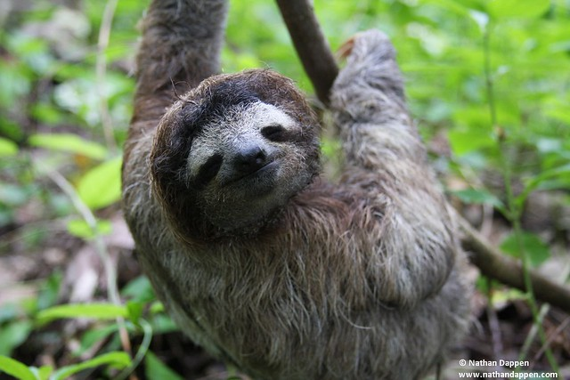 Cute Baby Pictures Desktop Wallpapers Three Toed Sloth Three Toed Sloth At Cauita National
