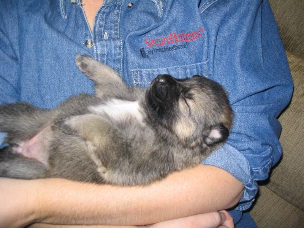 Fullsize Of German Shepherd Wolf Mix