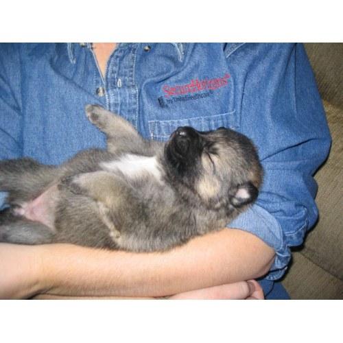 Medium Crop Of German Shepherd Wolf Mix