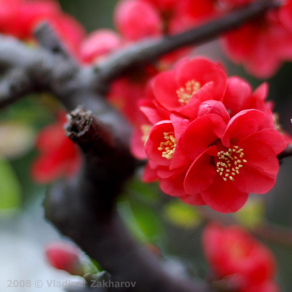 Free Hd Flower Wallpaper Red Cherry Blossom Vladimir Zakharov Flickr