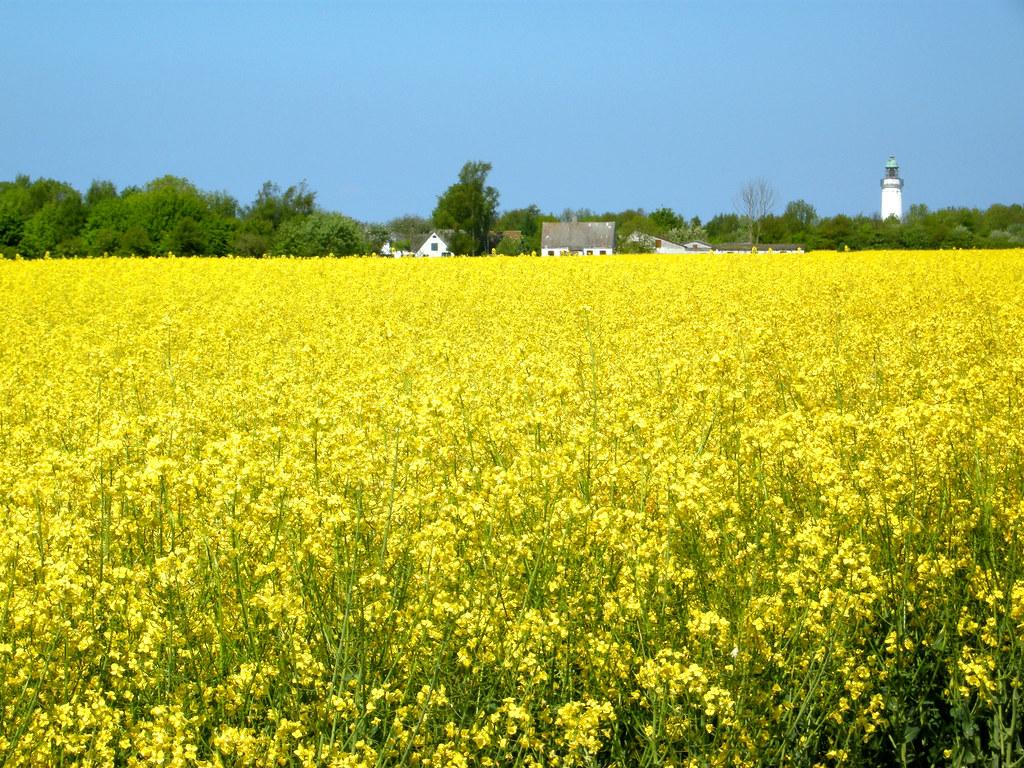 Flower Images 3d Wallpapers Yellow Mustard Field Denmark Andrei Flickr
