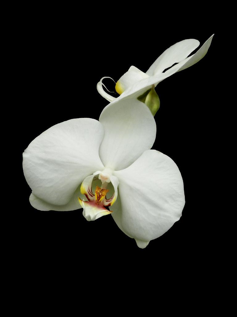 Wallpaper White Black White Orchid Black Background Janet Sipl Flickr