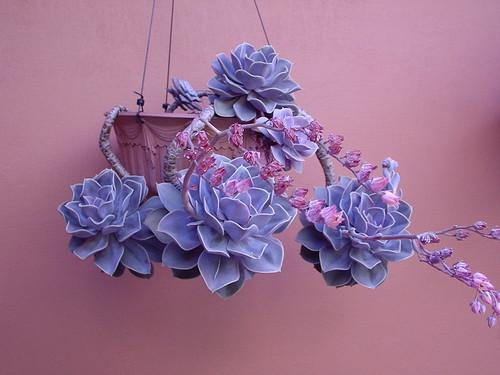Wallpaper Purple 3d Echeveria Perle Von Nurnberg Ely Agra Flickr