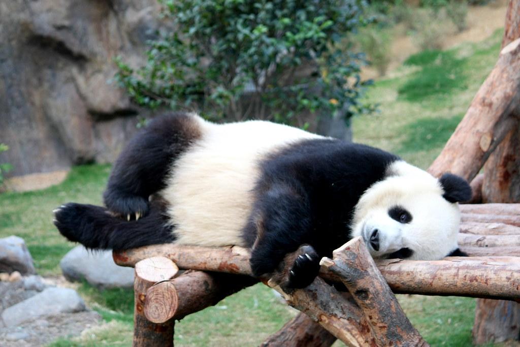 Cute World Map Desktop Wallpaper Lazy Panda 大熊猫 My First Time To See Pandas How Cute