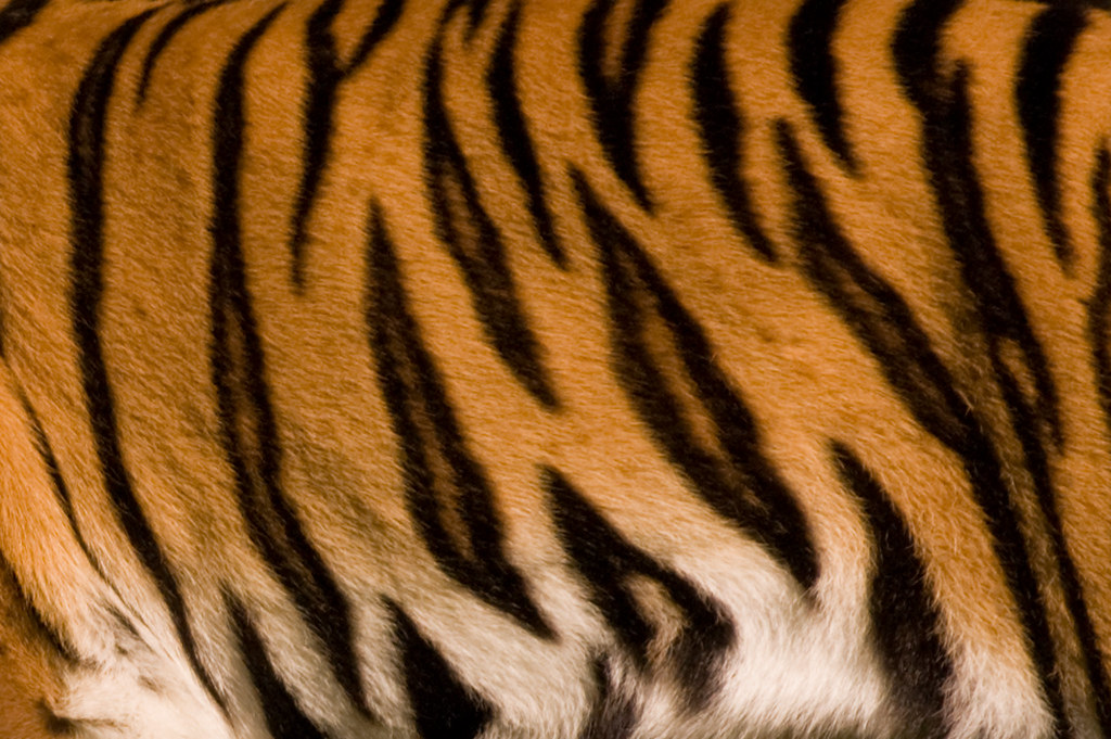 Leopard Animal Print Wallpaper Tiger S Texture Maxgiro Flickr