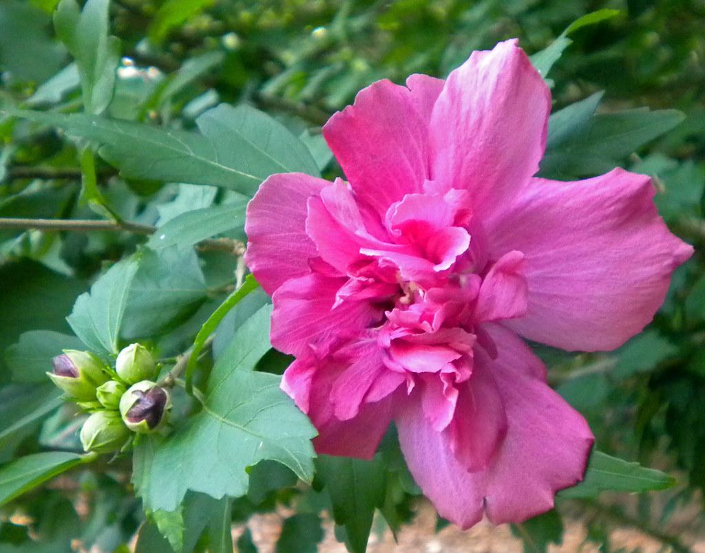 Fullsize Of Rose Of Sharon Bush