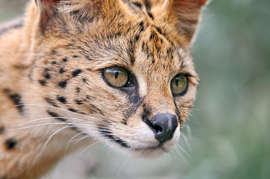 Cute Cat Wallpaper 3d Closeup Of A Serval Another Picture Of A Serval Taken