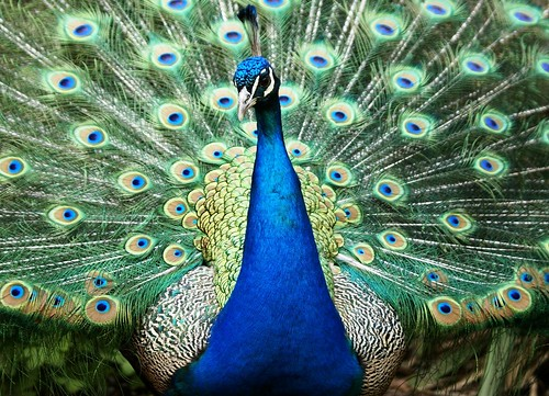 Peacock Wallpaper 3d Blauwe Pauw Pauwen Zijn Middelgrote Hoendervogels De