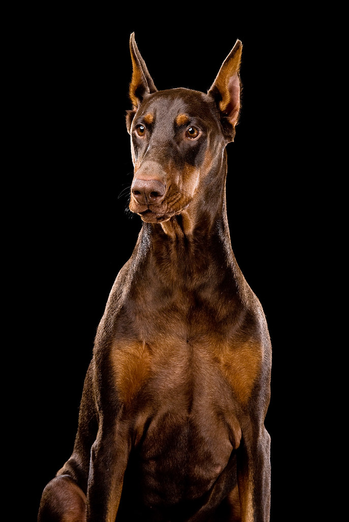 Black And White And Red Wallpaper Ginger Red Doberman Dog If You Use This Image Please