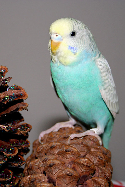 Cute Puppies Images Wallpapers Mint Julep Mint Julep A Young Budgie Parakeet We