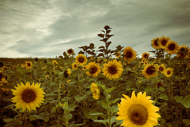 Free Fall Color Wallpaper Vintage Sunflowers This Is From A Sunflower Field I