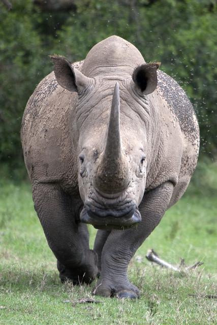 Rhino 3d Wallpaper White Rhino Charging Rhino Doing A Mock Charge Towards