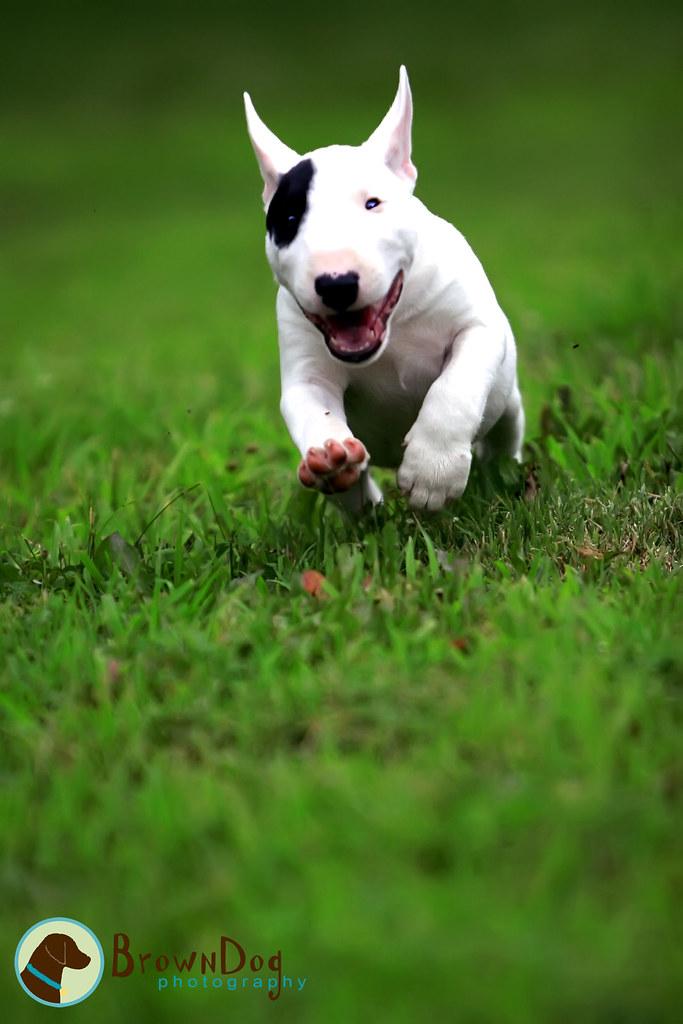 3d Wallpaper Of Dogs Gus Mini Bull Terrier Kerrie Flickr