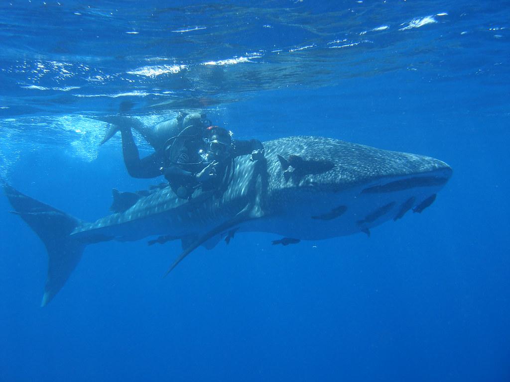 Natal Wallpaper 3d Whale Shark Fernando De Noronha Brazil Baby Whale
