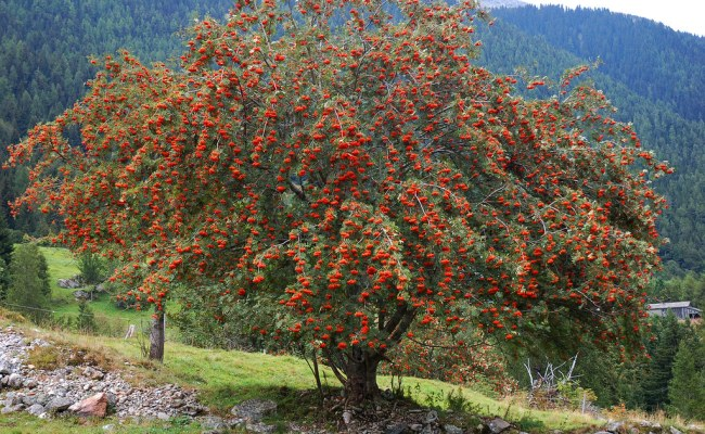 Rowan Tree | A Magnificent Rowan Tree Just West Of Le Buet