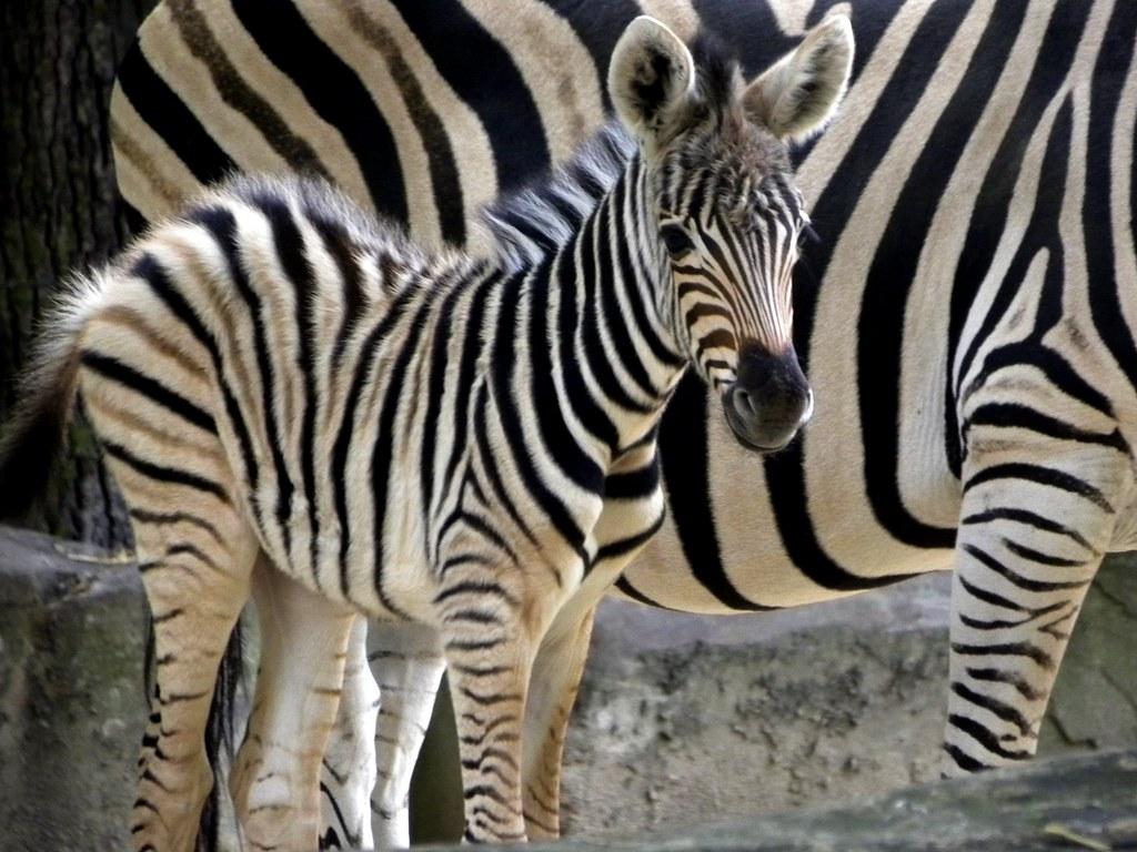 Cute Babies Wallpapers Photos Zoo Antwerpen Baby Zebra It Was Born Yesterday