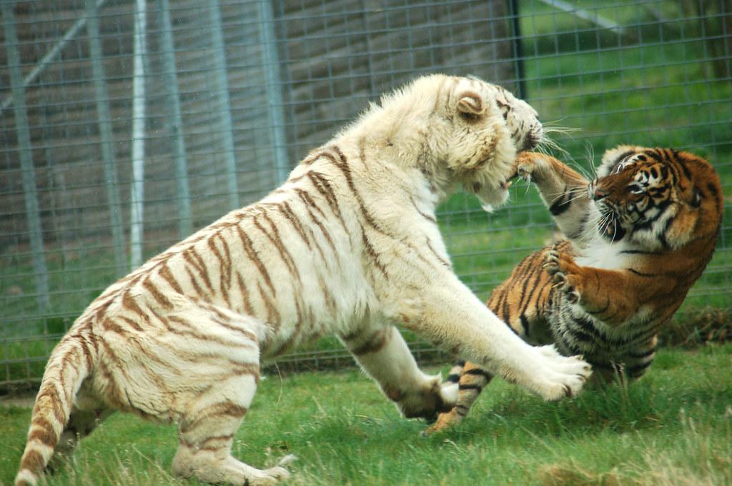 Bengal Cat Hd Wallpaper Tigers Fighting Fight Fight Fight Mr Craig Lyons
