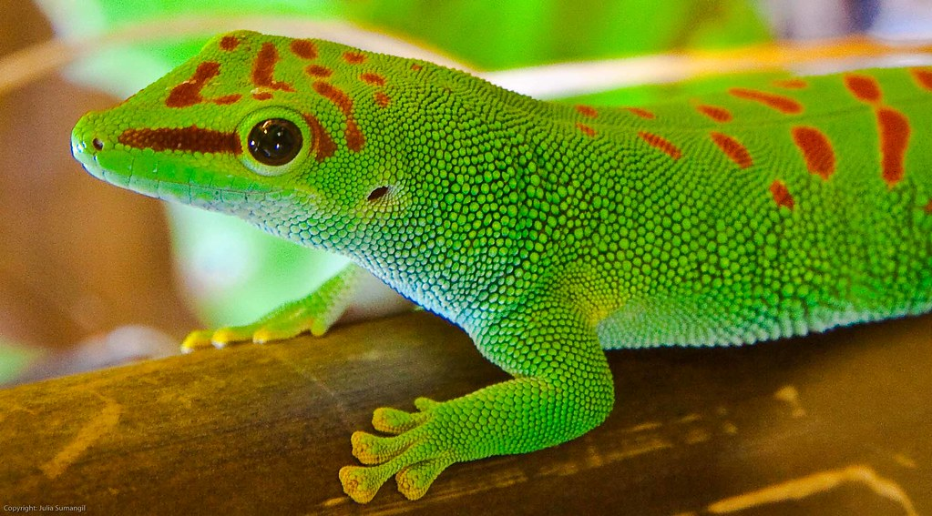Cute Dolphin Wallpapers Madagascar Giant Day Gecko This Lizard Typically Reaches