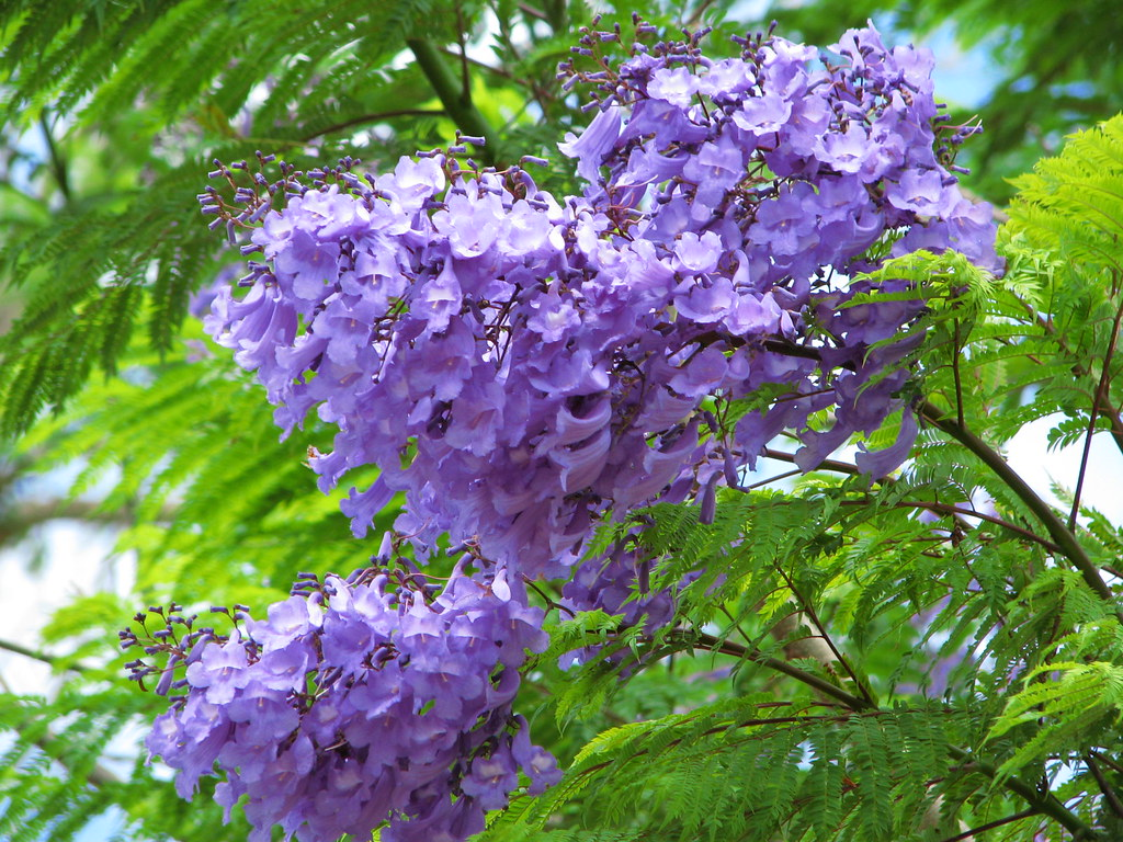 Bunnings Robes Flowering Trees Photos