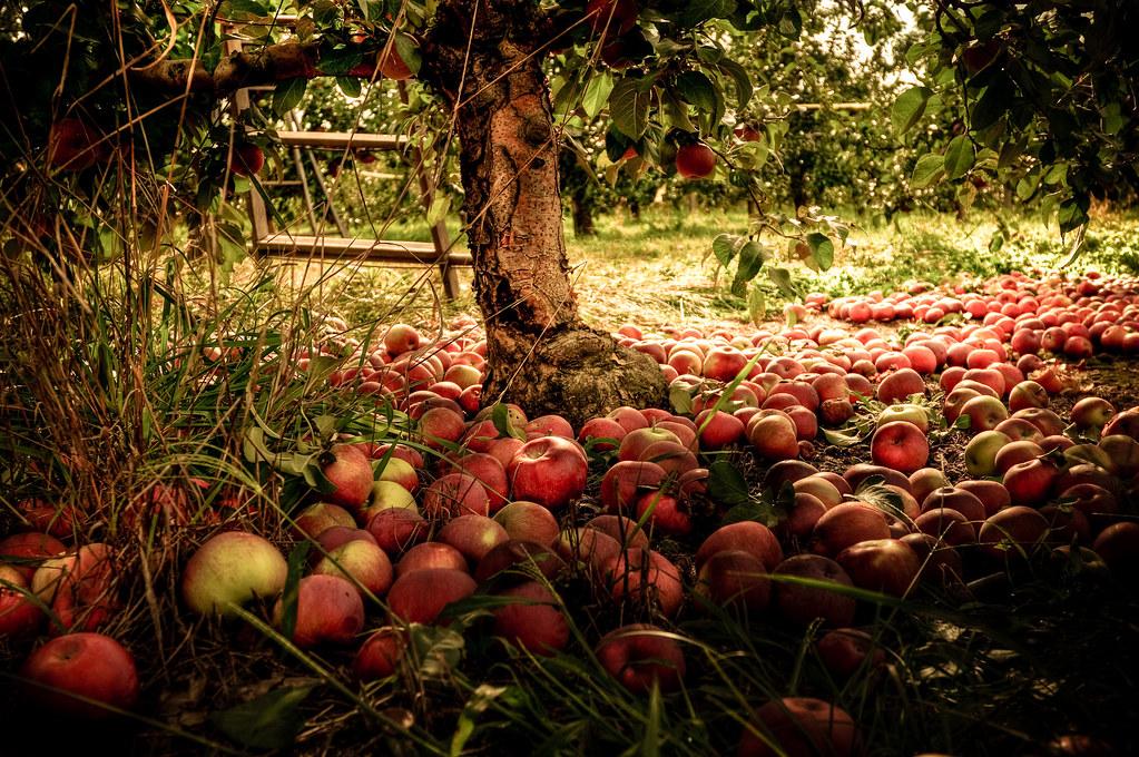 Fall Desktop Wallpaper With Pumpkins Underneath The Apple Tree It Is Apple Picking Season