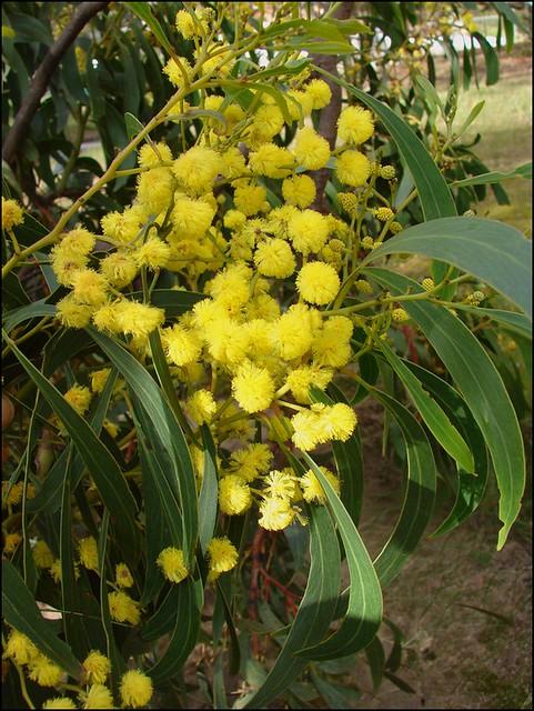 Autumn Leaves 3d Live Wallpaper Golden Wattle Australia S Floral Emblem Acacia
