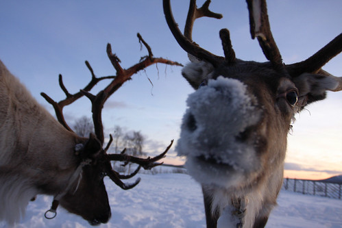 Free Fall Pumpkin Wallpaper A Reindeer With A Nose Of Snow Wibo De Vries Flickr