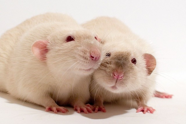 Cute Baby Pig Wallpaper Dumbo Siamese Rats 169 Alexk100 Dumbo Rats Are So Called