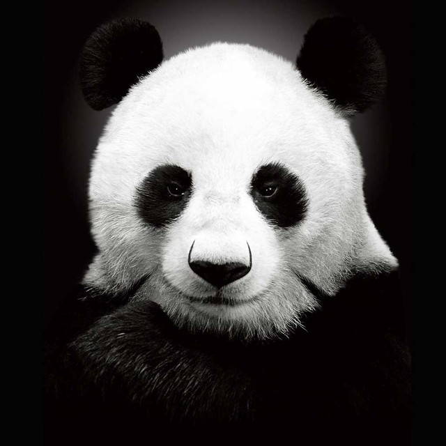 Cute New Wallpaper Download Panda Ipad Wallpaper Click On The Quot All Sizes Quot Link Above