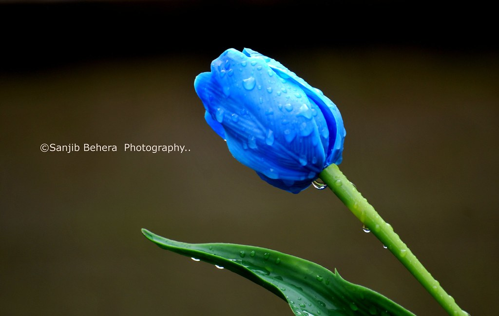 Free 3d Flower Wallpaper Blue Tulips Had Been 2 Amsterdam Last Week With My