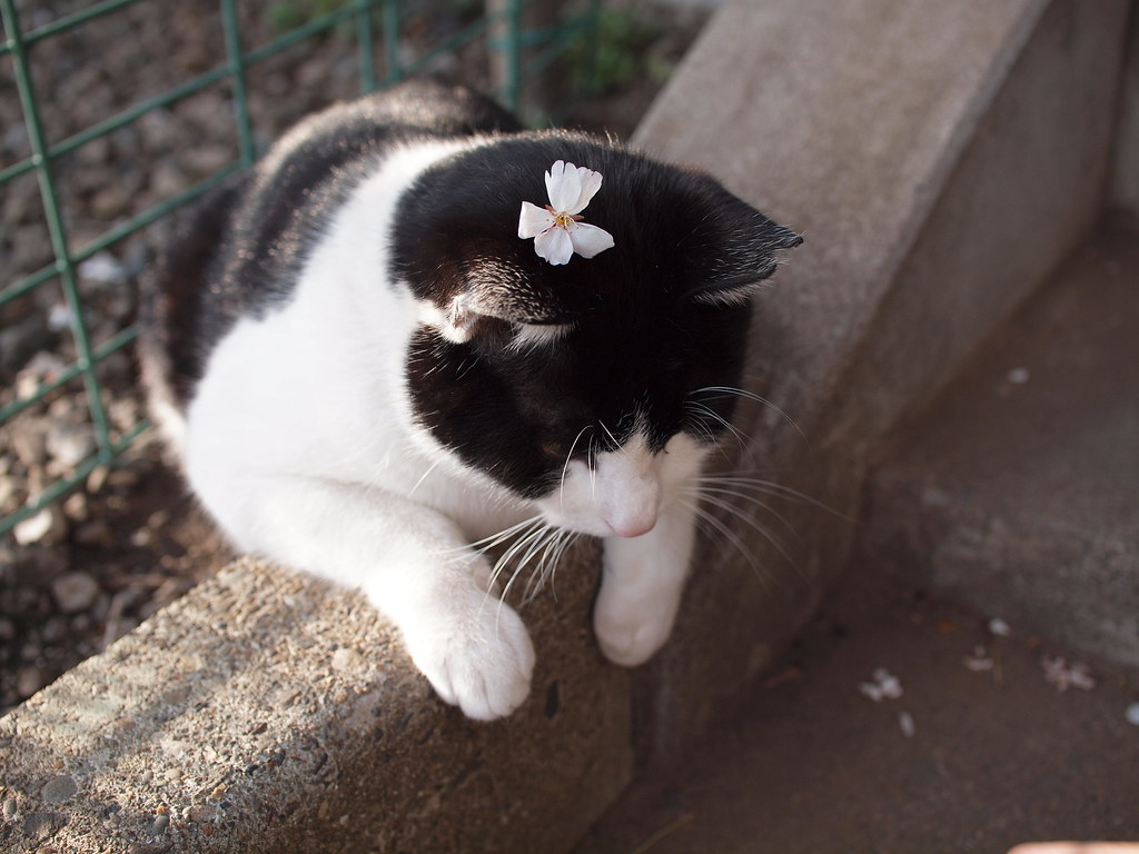 Free Pc Wallpaper 3d 桜猫 Cherry Blossom Cat Uma Sumomo Flickr