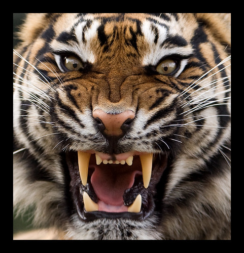 Saber Tooth Tiger 3d Wallpaper Angry Tiger Theo Kruse Flickr