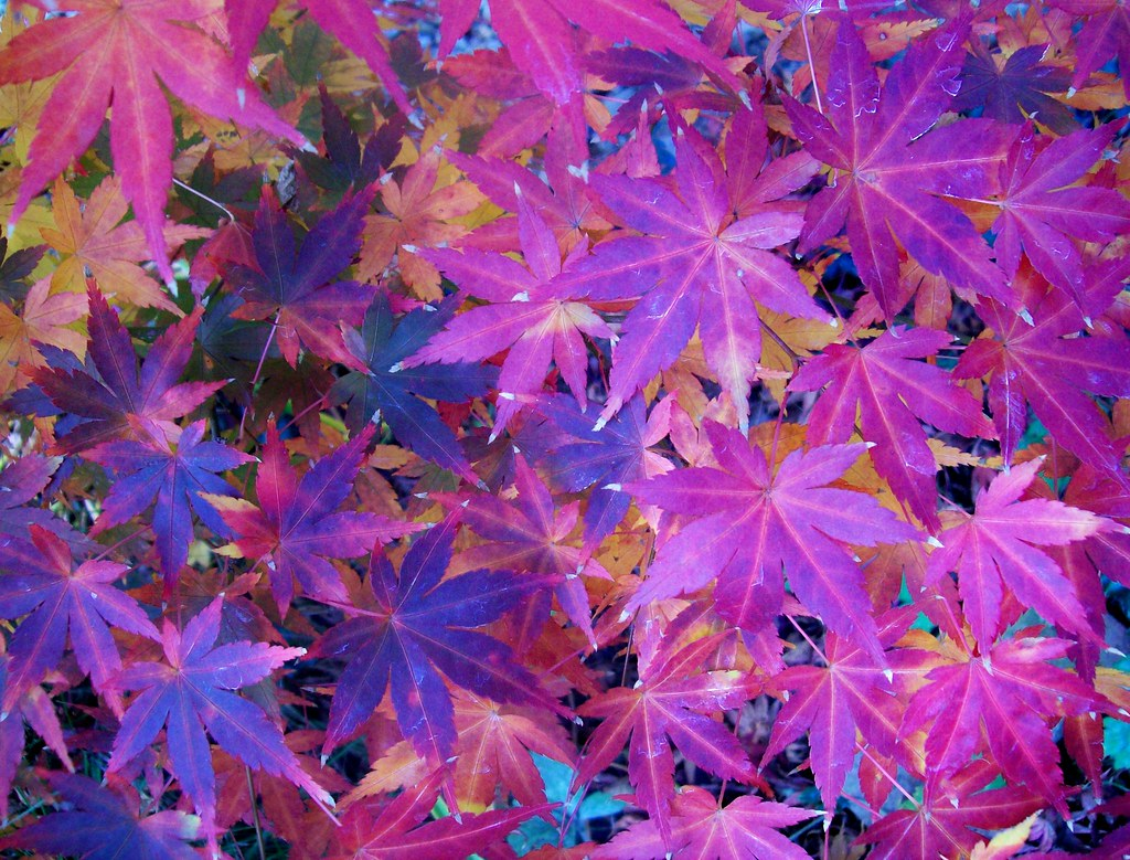 November Fall Wallpaper For Computer Purple Leaves Mariana Stauffer Flickr