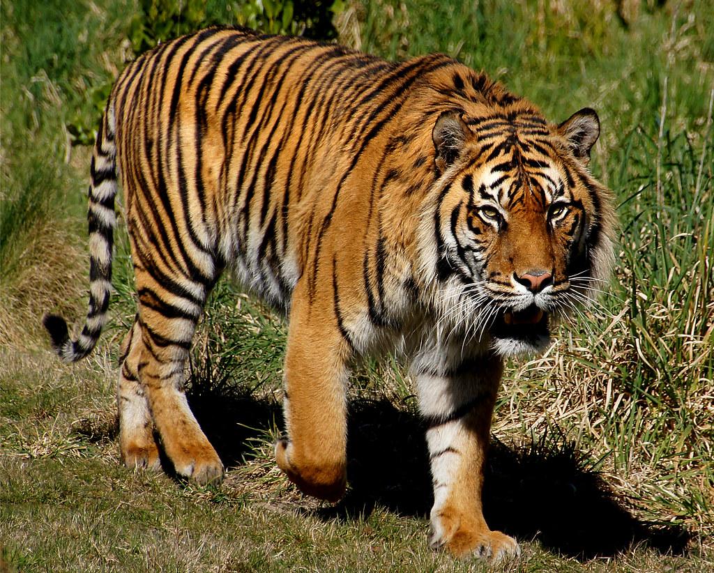 Tiger Live Wallpaper Hd Sumatran Tiger Sumatran Tigers Are The Smallest