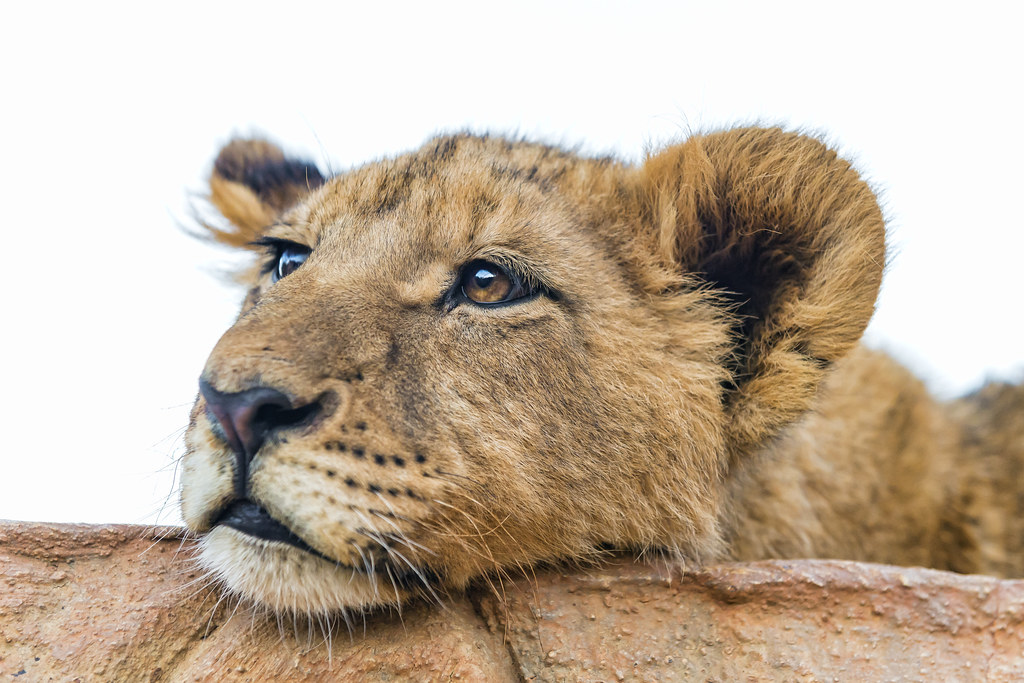 Lion Animal Wallpaper Tired Lion Cub One Of The Bigger Cubs Looking Tired And