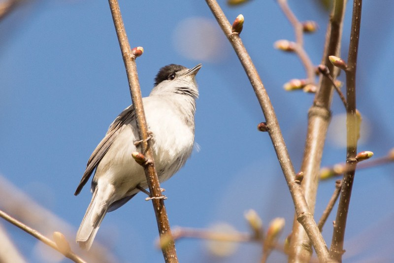 Blackcap singing from the edge of the woodland.